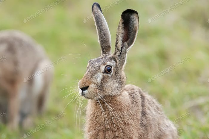 Hare in a clearing, a portrait