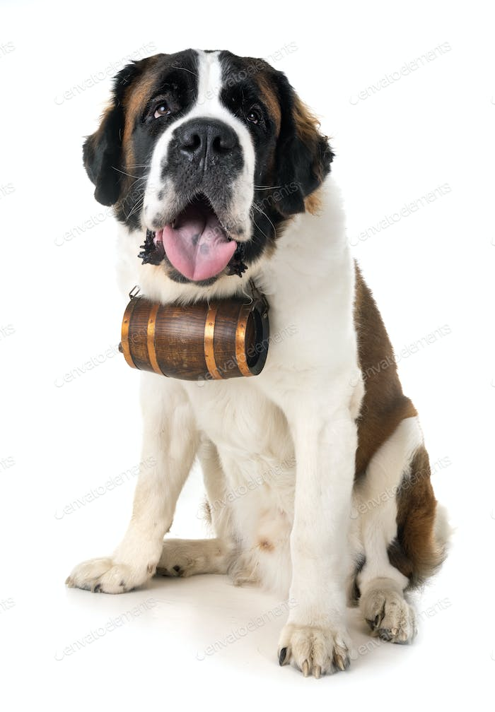 saint bernard in studio