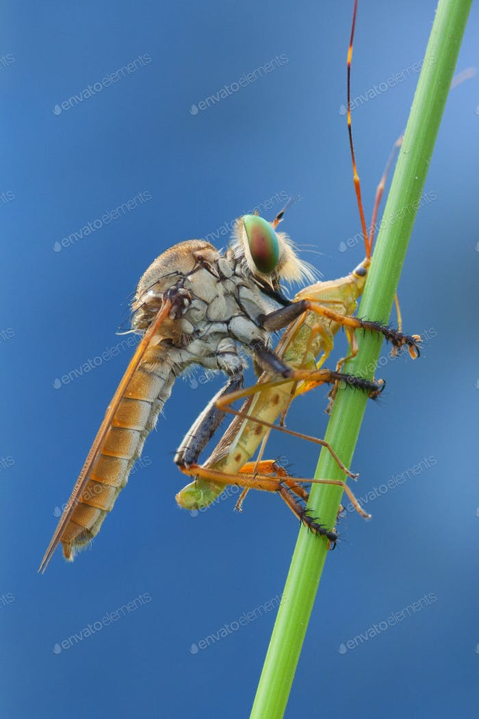 Robberfly eating Rice Ear Bug