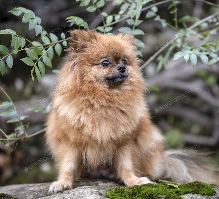 pomeranian in nature