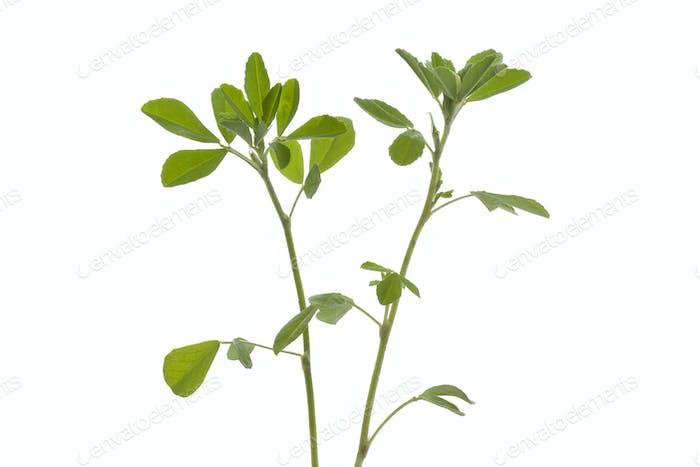Twig of Fenugreek