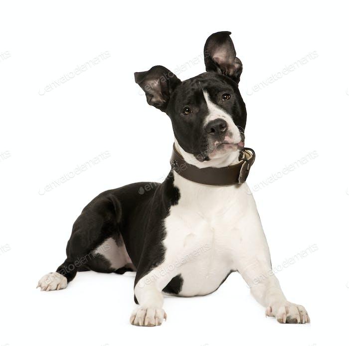 Amerikanischer Staffordshire Terrier (8 Monate)