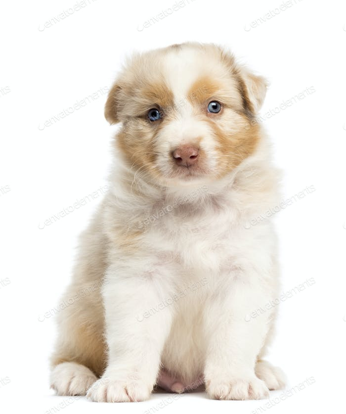 Australian Shepherd puppy, 1 months and 3 days old, sitting and portrait against white background