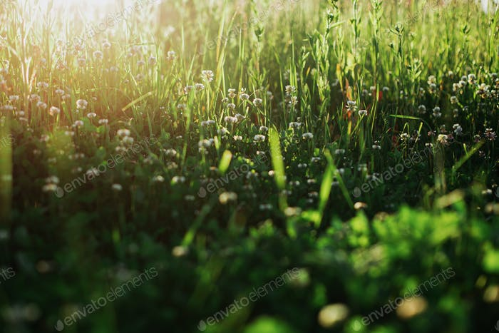 Beautiful green grass and clover flowers in sunlight closeup. Spring or summer morning in meadow