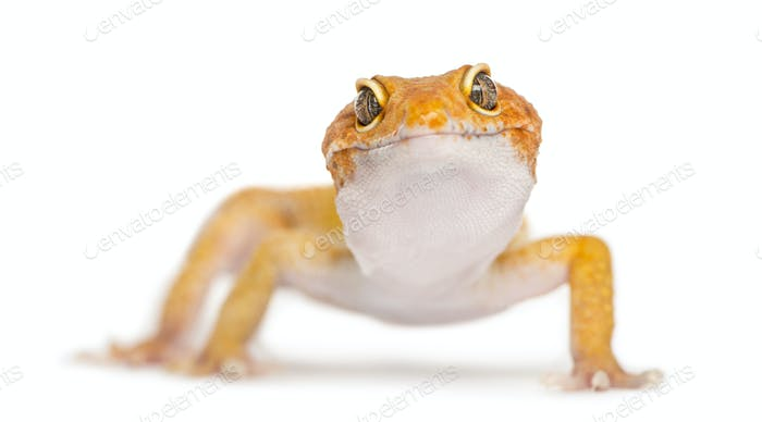 Leopard gecko facing the camera, isolated on white