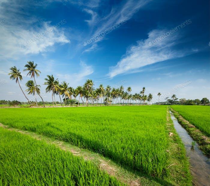 Rice close up, India