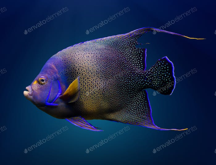 Adult Koran angelfish