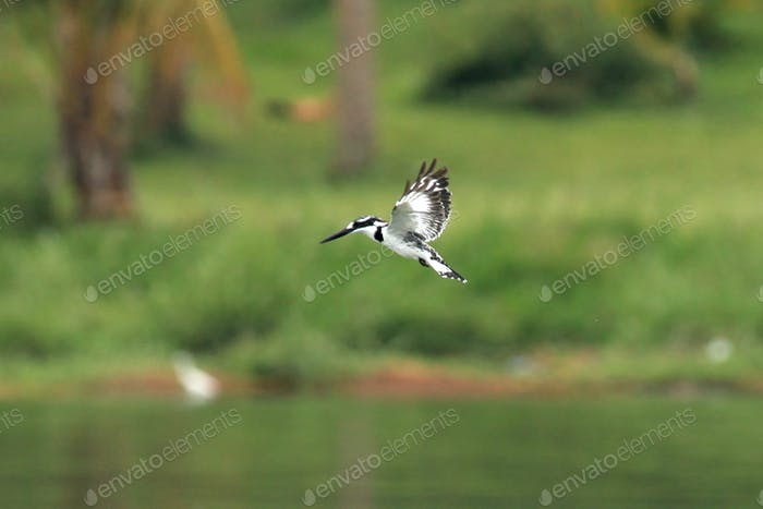 Kingfisher - Заповедник дикой природы - Уганда