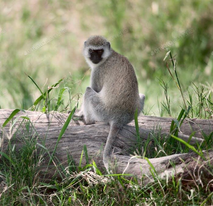 Vervet Monkey, Chlorocebus pygerythrus, in Serengeti National Park, Tanzania, Africa