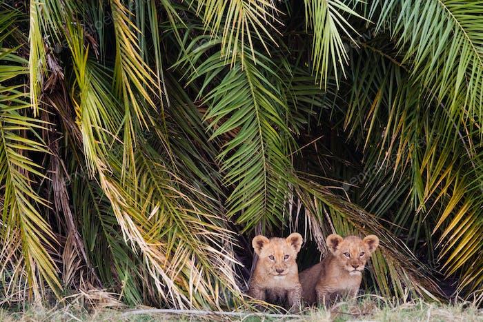 African lion cubs, Botswana
