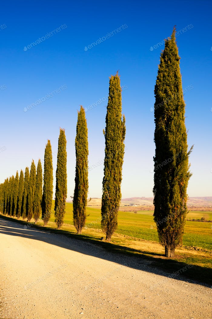 Tuscany, cypress tree group and rural road. Siena, Orcia Valley,