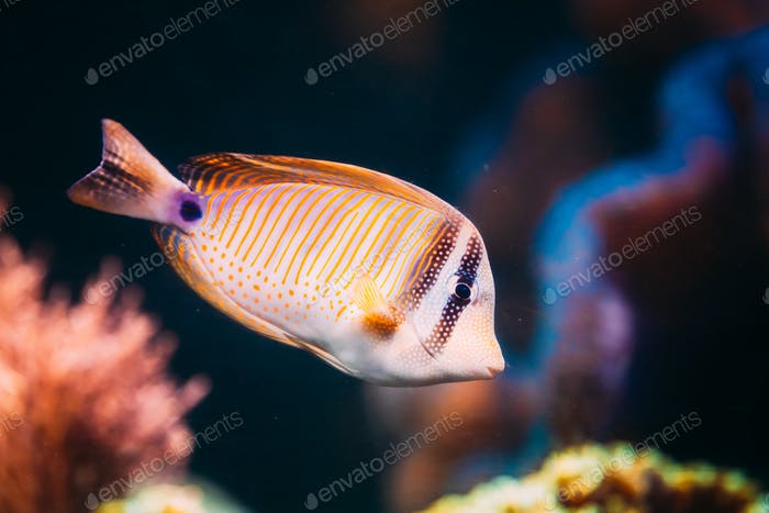 Kole Tang Or Spotted Surgeonfish Or Goldring Surgeonfish Or Yell