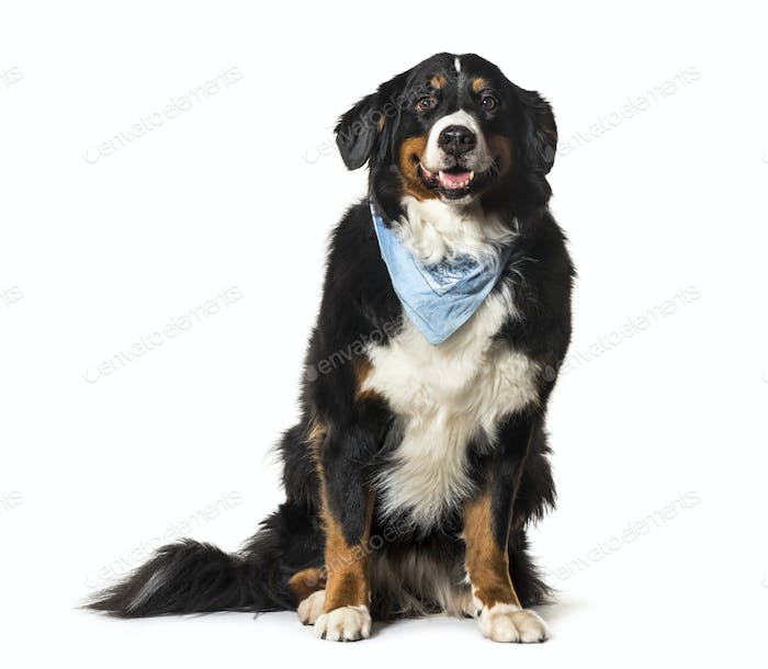 Sitting Bernese Mountain Dog panting wearing a blue scarf, cut out