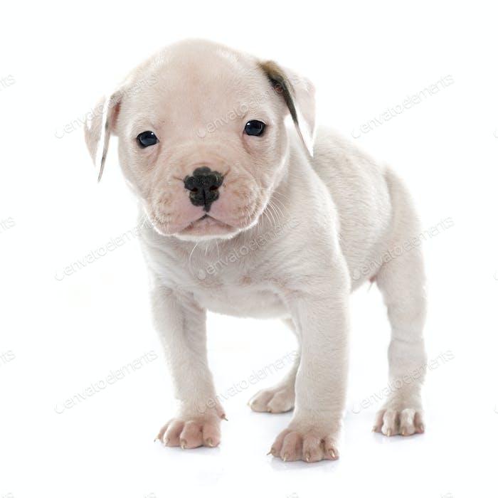 puppy american bulldog