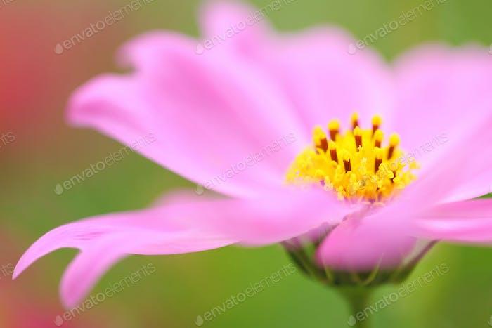 rosa Blumen blühen im Frühling