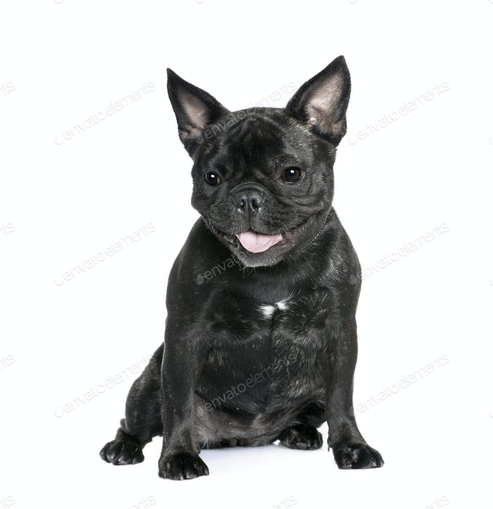 French Bulldog, 1 year old, sitting in front of white background, studio shot