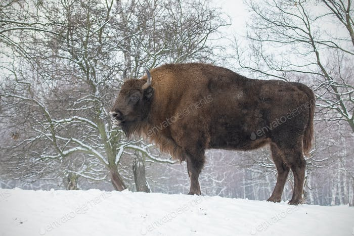 European bison, bison bonasus, in the forest with snow