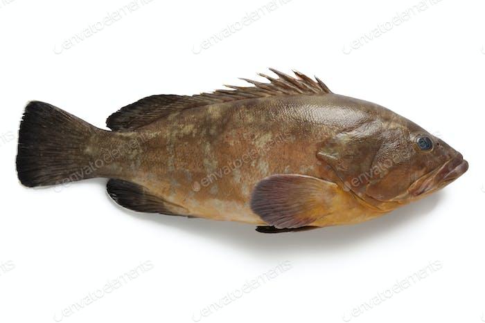 Single dusky grouper