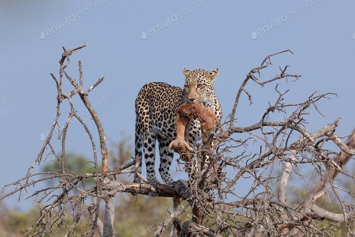 A leopard, Panthera pardus, with prey