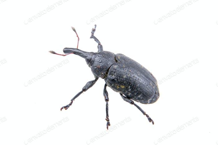 Bug negro sobre Fondo blanco
