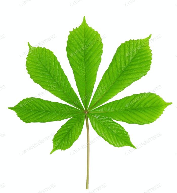 Green leaf chestnut