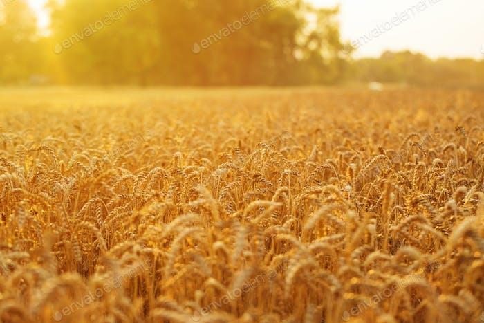 Goldenes Weizenfeld und Sonnenuntergang