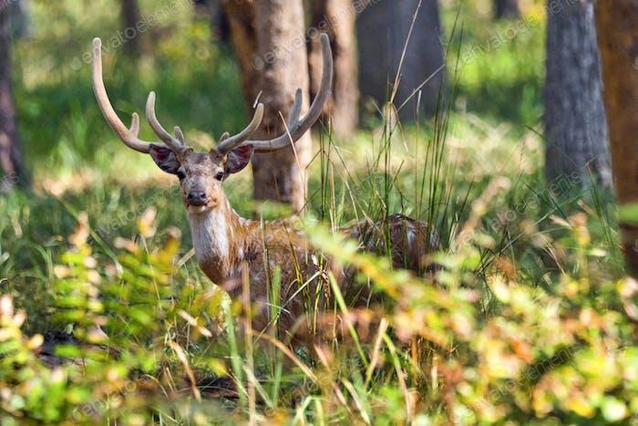 Spotted Deer, Royal Bardia National Park, Nepal