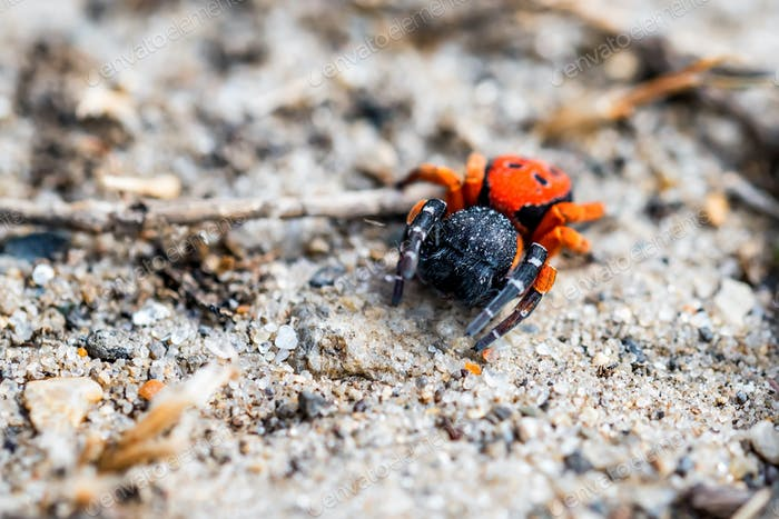 Ladybird spider or Eresus kollari close