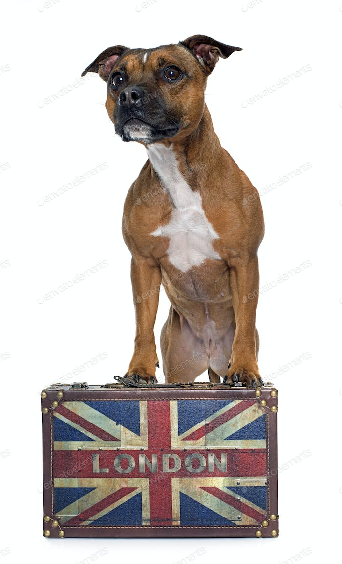 stafforshire bull terrier and box