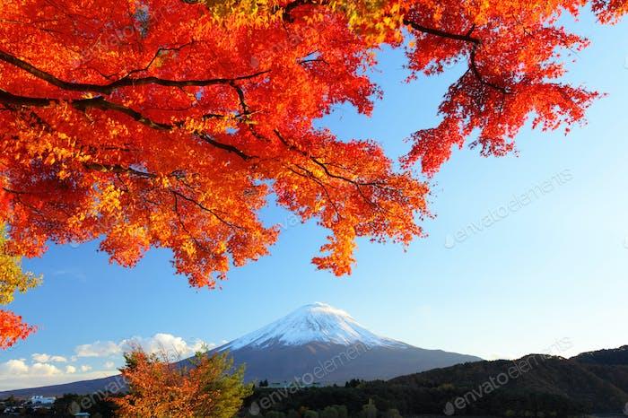 Mountain Fuji and maple tree