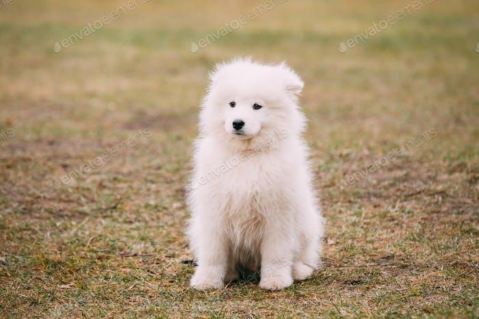 White Samoyed Puppy Dog Outdoor