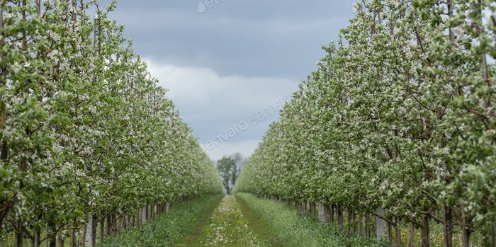 Fruit garden and plantation in spring. Path on blooming apple farm and green grass