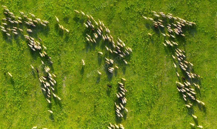 The view from the air on a flock of sheep.