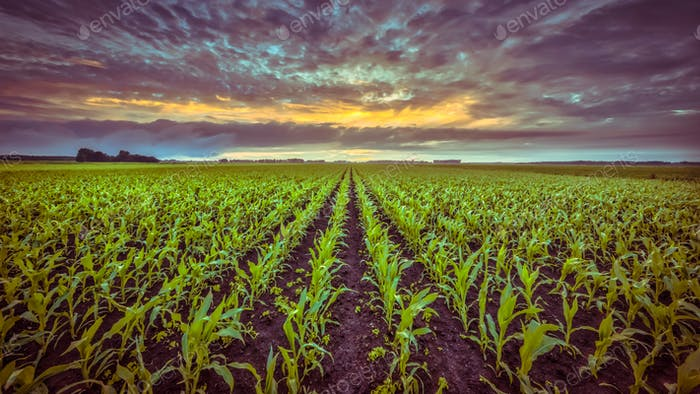 Corn field under setting sun in vintage colors