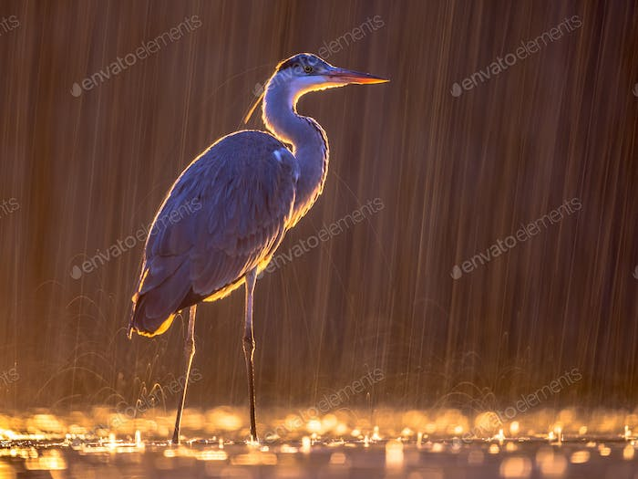 Silhouette of Grey heron hunting at night in the rain
