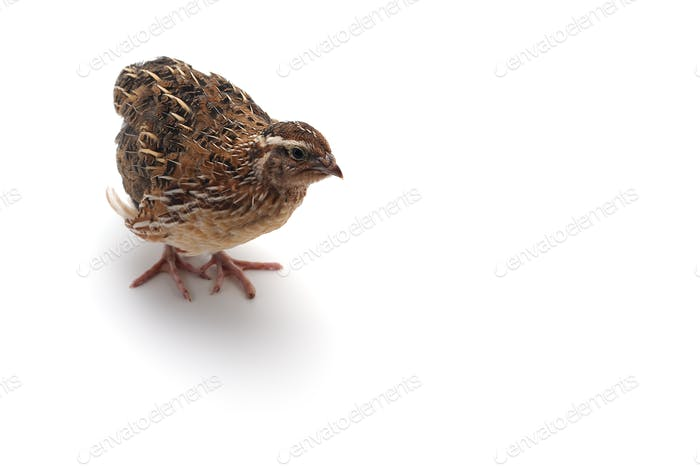 The common quail isolated on white background