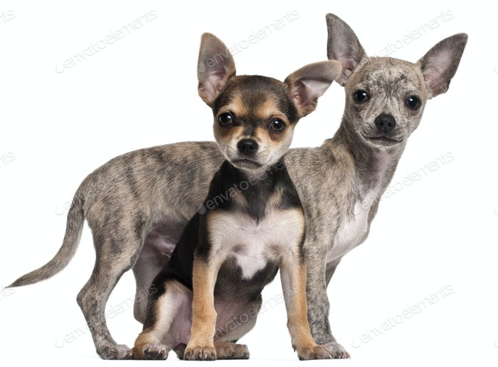 Chihuahua puppies, 3 months old, in front of white background