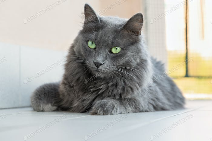 nebelung breed cat