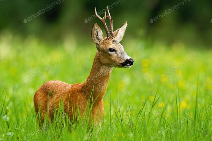 Roe deer buck with antlers looking away standing in fresh green grass in summer