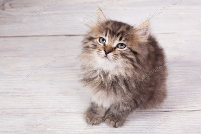 Young fluffy kitten
