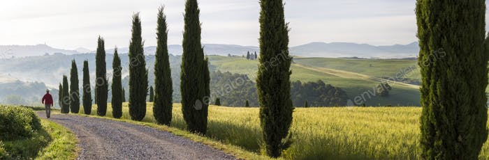 Rear view of man walking along rural road lined with Cypress trees.