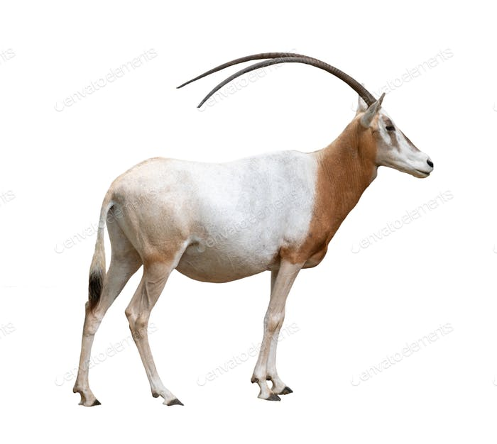 scimitar horned oryx isolated