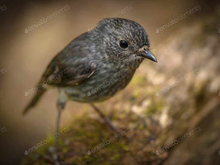 Cute New Zealand robin looking