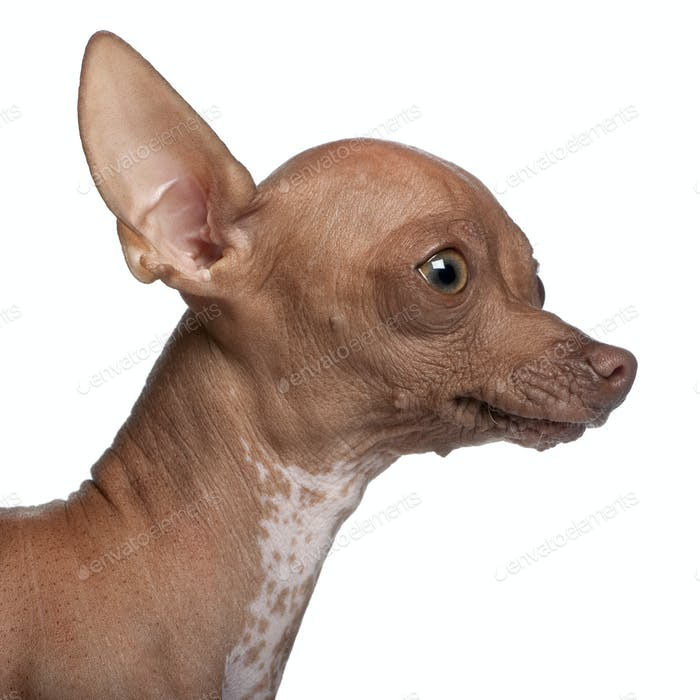 Close-up of Chihuahua, 6 months old, in front of white background