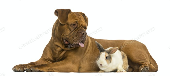 Dogue de Bordeaux panting and rabbit lying together, isolated on white