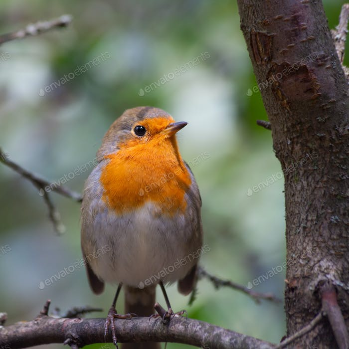Bird European Robin