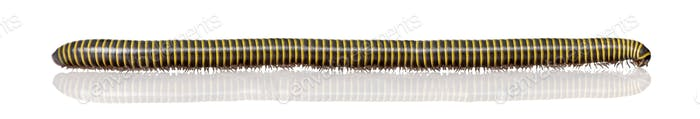 Very long black and yellow Millipede from Guyane, in front of white background