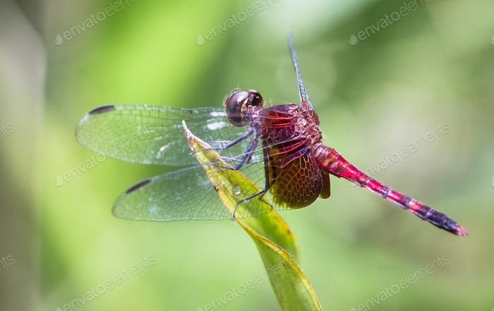 Dragonfly Resting on a Leaf in Costa Rica