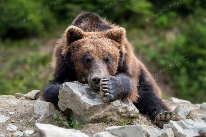 Braunbär (Ursus arctos) Porträt im Wald