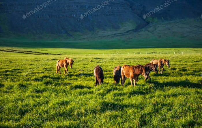 Charming Icelandic horses in a pasture with mountains in the bac